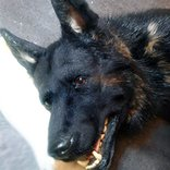 Animal props german shepherd